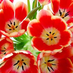 Tulpen (1)