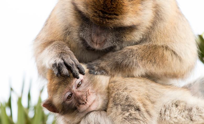 Love - Op deze Valentijnsdag een foto waar de liefde vanaf spat.<br /> <br /> Berberapen - Rots van Gibraltar