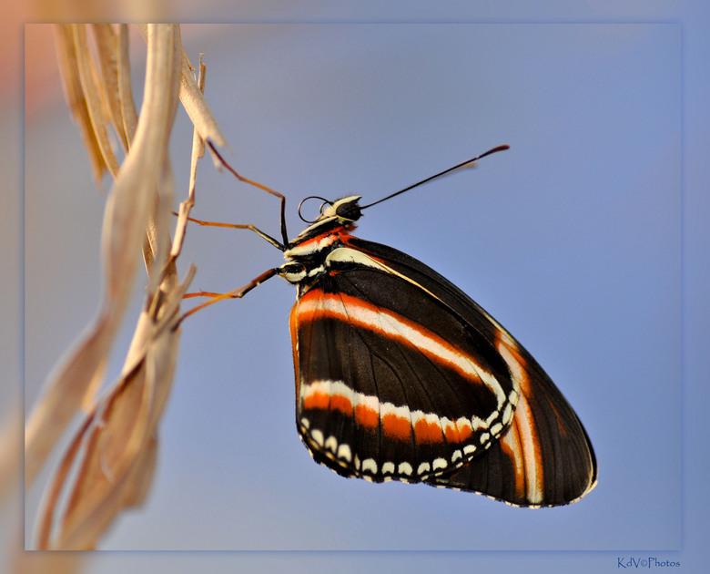 Vlindertuin 1: Dryadula phaetusa - Afgelopen zaterdag de Workshop Macrofotografie gehad in de Vlindertuin te Kwadendamme geleidt door Marcel van Balko