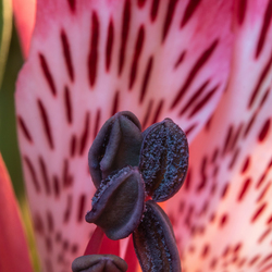 Alstroemeria roze