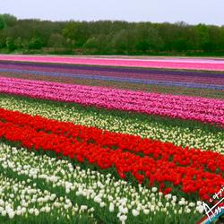 Bloemenvelden in Hillegom