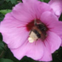 hommel in de bloem van een hibiscus