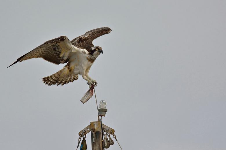 Visarend (Pandion haliaetus) - Deze visarend kwam ik tegen bij het Schildmeer in de provincie Groningen, het zat hoog op een mast van een zeilboot.