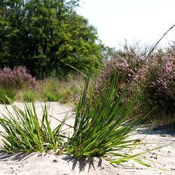 eenzame graspol