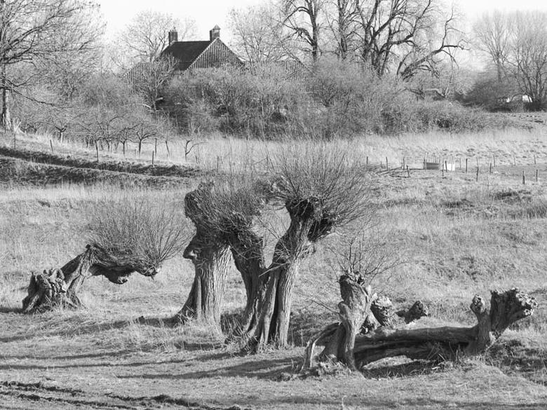 Geknot - Ik vind knotwilgen een wel heel erg bijzonder fenomeen in het Nederlandse landschap