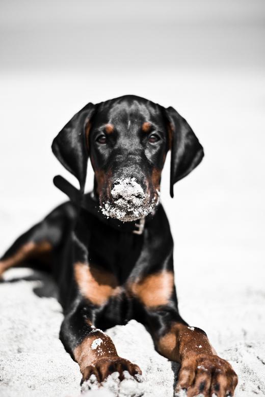 Dobermann - Mijn lieve mooie pup Dobermann! Heerlijk genoten op het strand