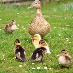 Familie Eend aan de wandel