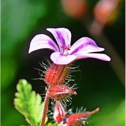 Roos bloempje