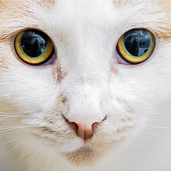 The eyes of a cat