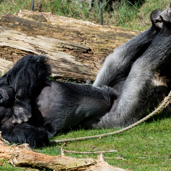 Zonnende gorilla