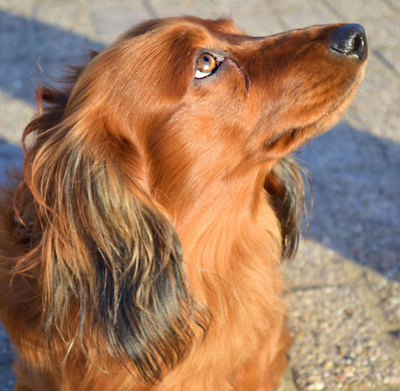 Trouwe viervoeter - Beatle, het hondje van een van onze buren. Een prachtig beest maar een gruwel voor een beginnende fotograaf, het beest zat werkeli