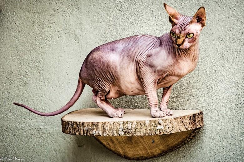 Sphinx - Dit is Coco, een sphinx bij Kattencafe in Nijmegen