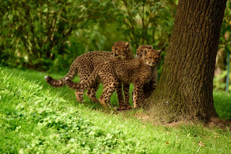 Poesjes - In de dierentuin van Munster zijn drie jonge luipaardjes te bewonderen.