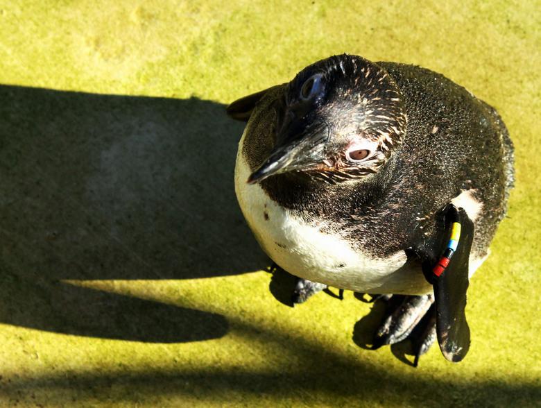 Pinguin - Pinguin