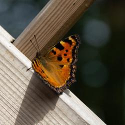 Vlinder op bezoek in de tuin