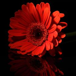 reflections of a gerbera