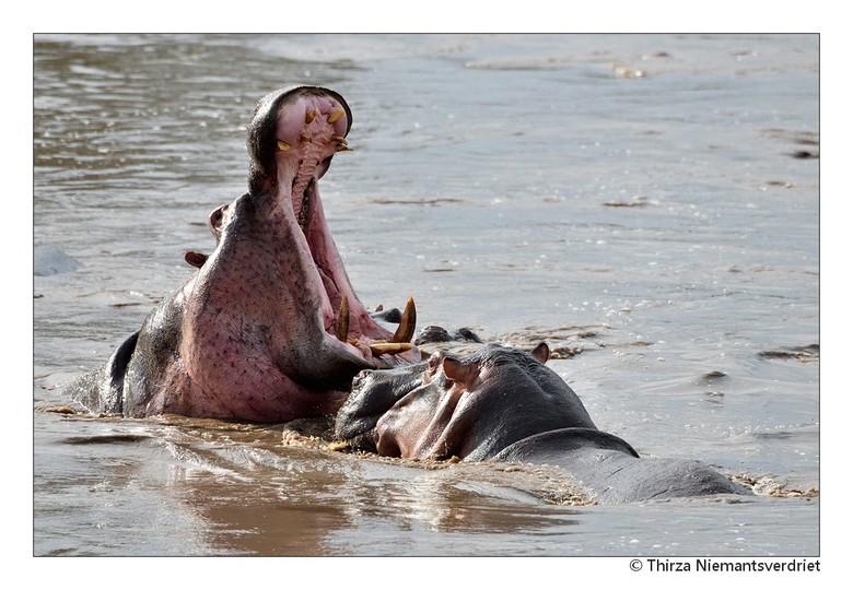 Close encounters - Een indrukwekkend gezicht om nijlpaarden te zien, en al helemaal wanneer de enorme muil wordt geopend . . . ontmoeting met deze imp
