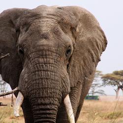 Olifantenportret