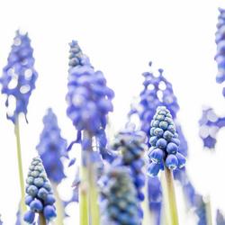 Blauwe druifjes 'bos'