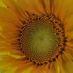 een zonnebloem in close-up