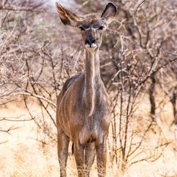 Een erg serieuze Kudu!