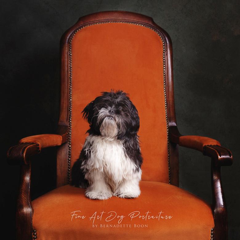 Floortje - Shih Tzu Maltezer FLOORTJE<br /> Als een kleine prinses op de stoel.