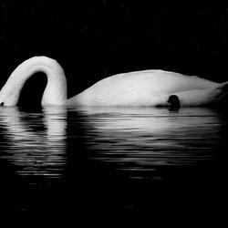 Zwaan in zwart-wit