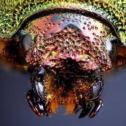 Lamprima Adolphinae Green Horn Female