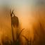 Kievitsbloem in de zonsopkomst