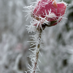 Roos met rijp