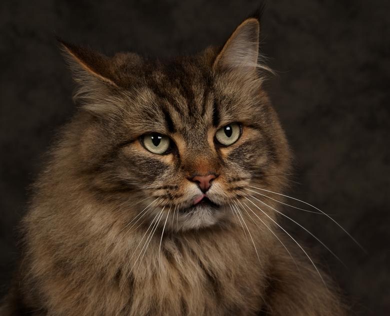 Maine Coon - Maine Coon, zijn mooie katten, ook om mee te werken.