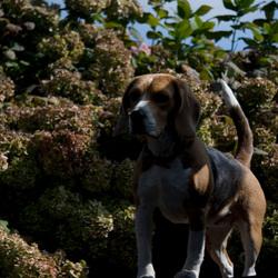 Beagle in de Rijp