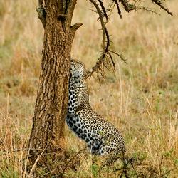 Luipaard op de Serengeti
