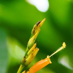 Oranje kelkje