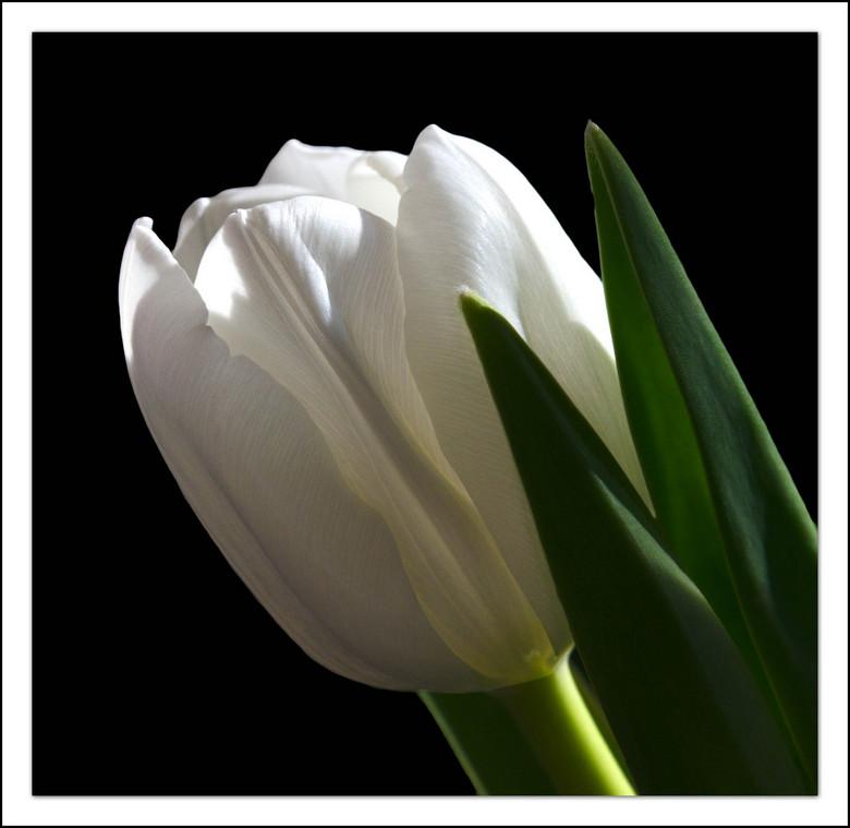 tulipa - een lelieblanke tulp in het ochtendlicht