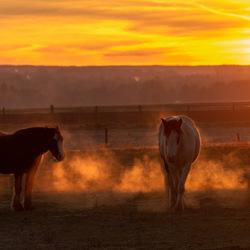 Paarden in het ochtendgloren