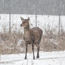 deer at ovp