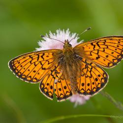 Parelmoervlinder open wings