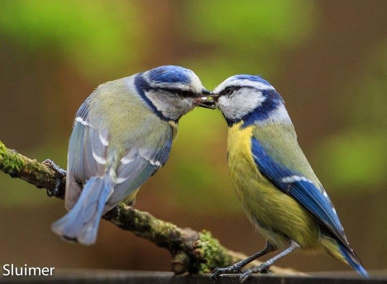 Dit is liefde .... - Liefde tussen de Pimpelmezen....
