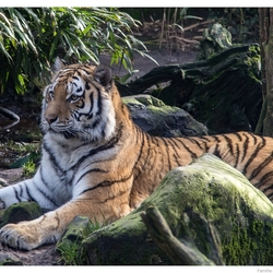 4346 tijger