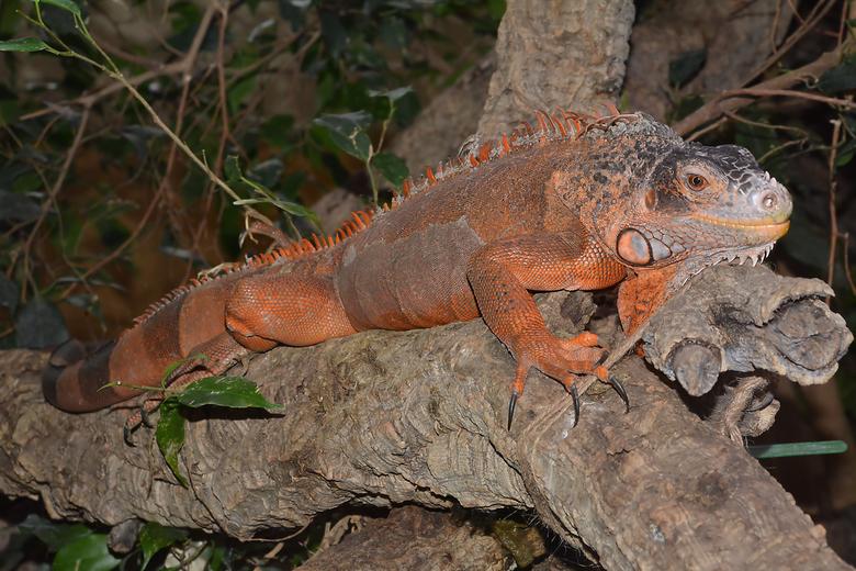 Iguana Inguana (Leguaan) -