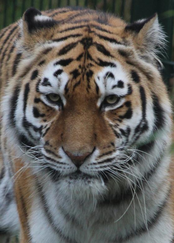 Siberische tijger  - Siberische tijger - Beekse Bergen