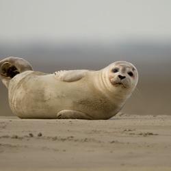 Jonge zeehond