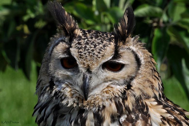 Oehoe - Foto gemaakt afgelopen voorjaar tijdens een vogelshow op een braderie in Driewegen.<br /> <br /> Bedankt voor jullie reacties op:<br /> <a