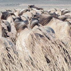 Konikpaarden bij het Lauwersmeer