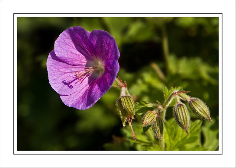 Nazomeren - Een paar bloemen die ik in de mooie nazomer gemaakt hebt. <br /> Dit is een Geranium.<br /> De scherpte licht op de schaduw van de stamp