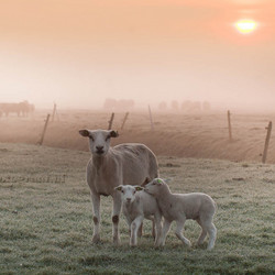 Lambs in the mist