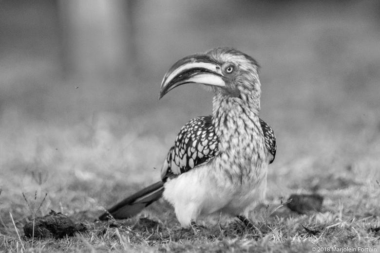 Zuidelijke geelsnaveltok - Een zuidelijke geelsnaveltok, een vogel die je vaak met zijn tweeen tussen de olifanten poep vind. Verder zijn het erg lawa