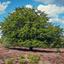 Schaduwboom