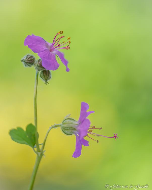 Beauty in pink - Geranium in de tuin.<br /> <br /> Bedankt voor jullie fijne reacties.<br /> Groet, John.